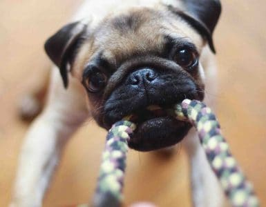 Pug with tug toy