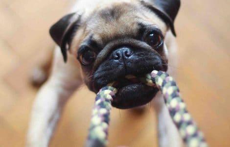 Pug with tug toy