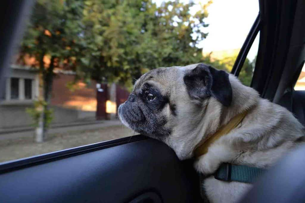 dog looking out window of car