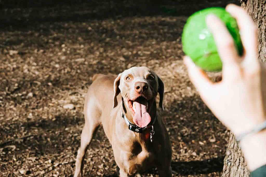 dog eagerly waits for tennis ball to be thrown