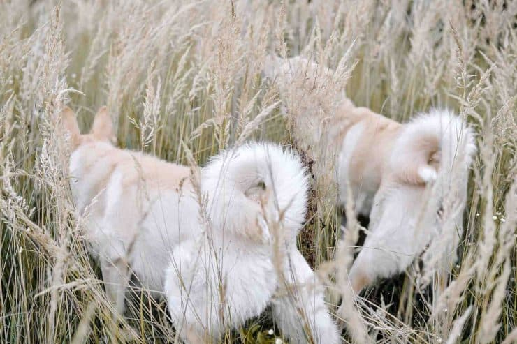Two dogs in wheat field