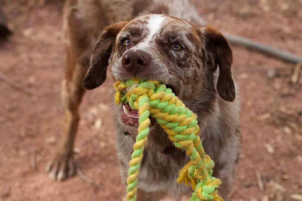 dog plays tug of war with toy