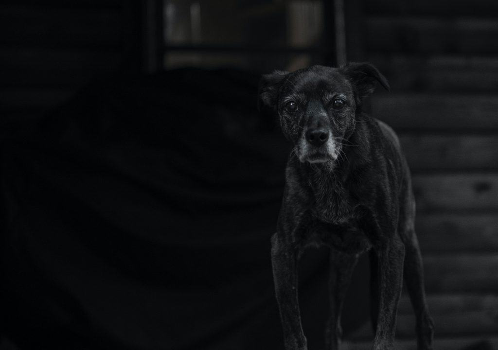 old dog with grey muzzle standing