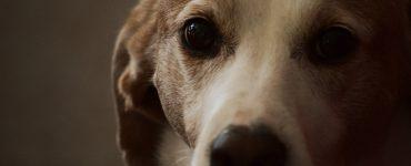 old dog staring at camera