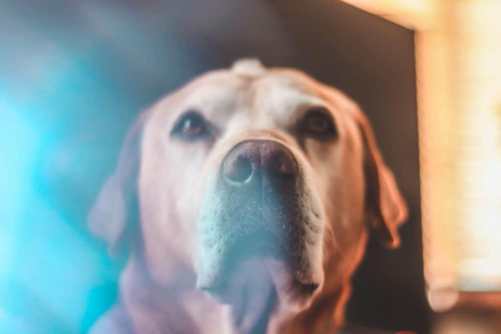 older dog stares at camera