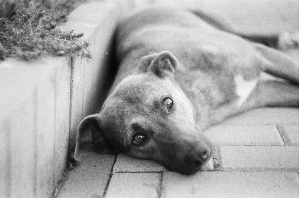 old dog lies on patio