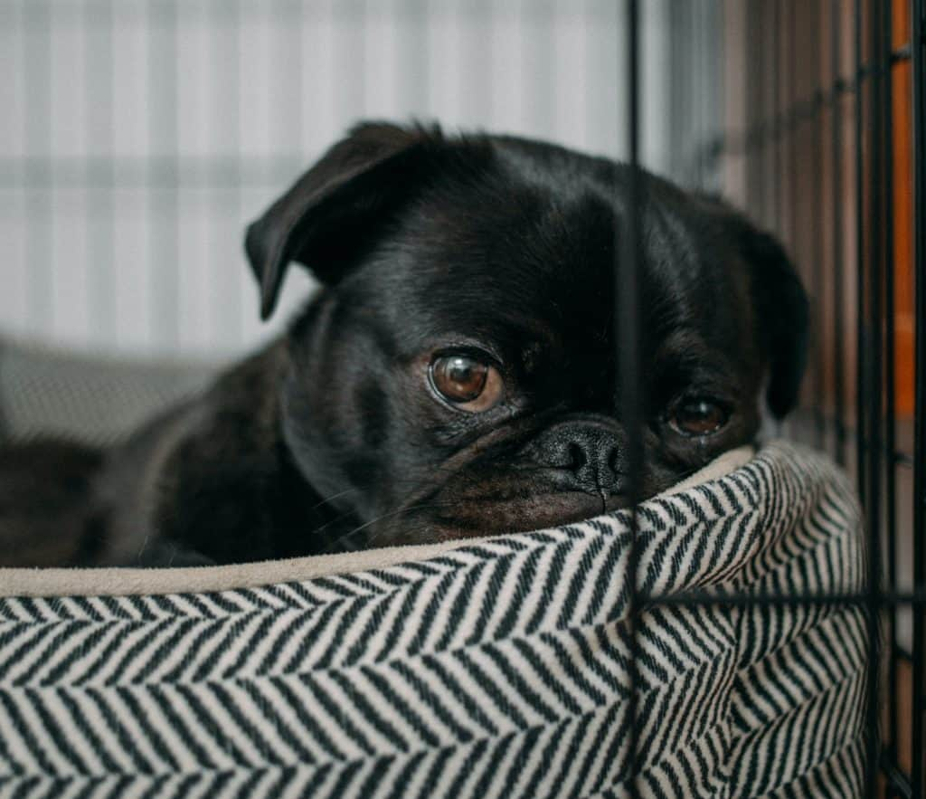 dog lies on bed in crate