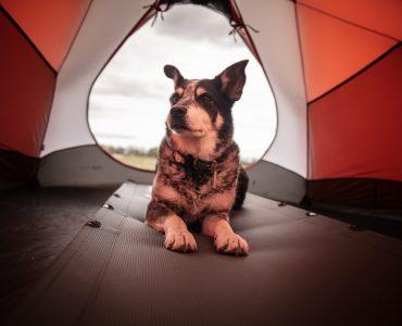 dog lies inside camping tent