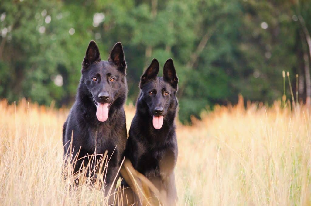 male and female dogs together