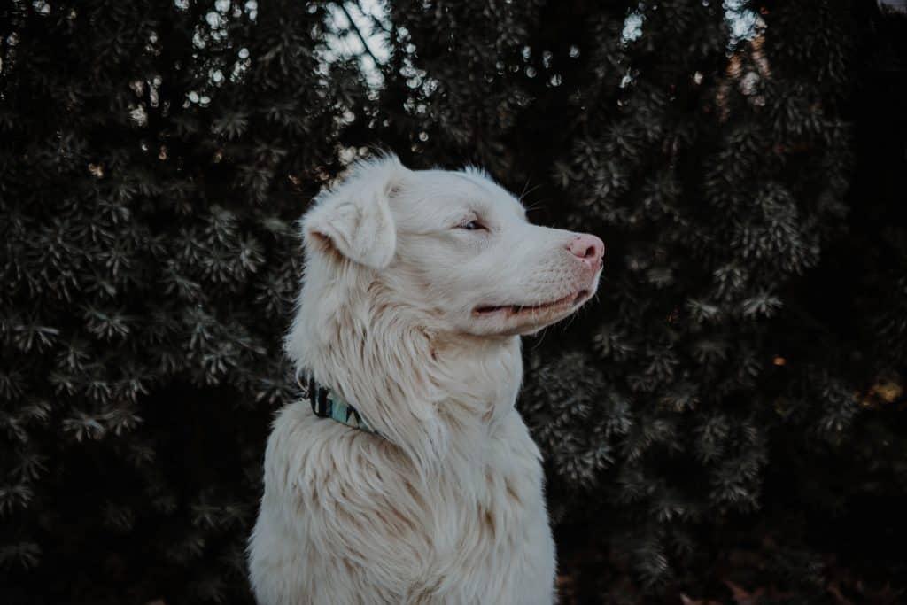 deaf retriever dog