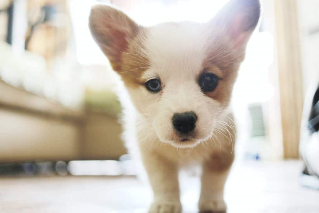 puppy with changing eye color